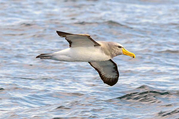 Tipo de albatro de Chatham