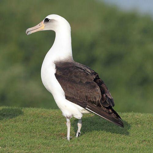 Especie de albatro de Laysan