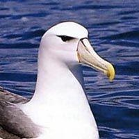 Especies de albatros