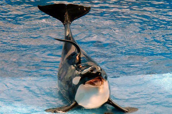 Tipo de cetáceo. La ballena orca