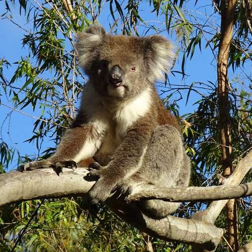 Tipo de koala