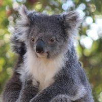 Especies de koala