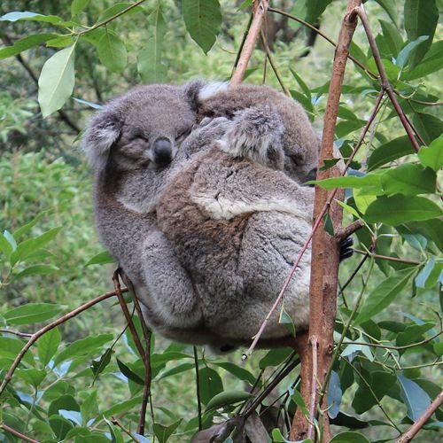 Pareja de koalas durmiendo